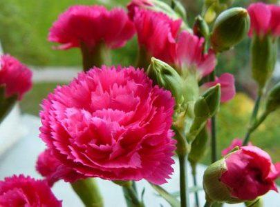 Nguồn gốc hoa Cẩm Chướng
