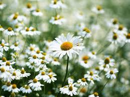 tác dụng của hoa cúc