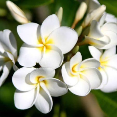 Công dụng của hoa sứ – ít người biết đến