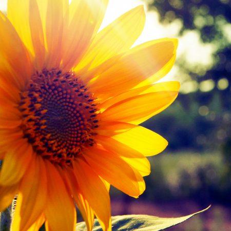 Hoa Hướng Dương- Luôn Hướng Đến Mặt Trời